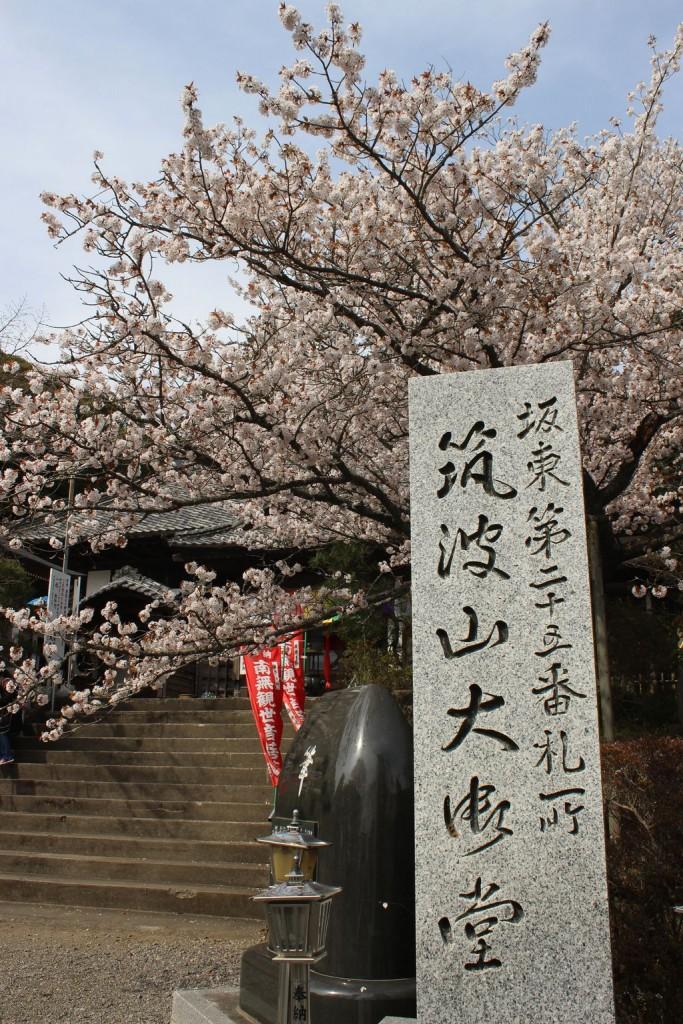 大御堂桜2016 (7)
