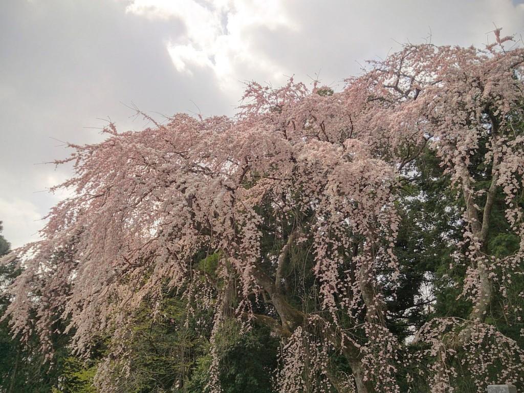 しだれ桜2016